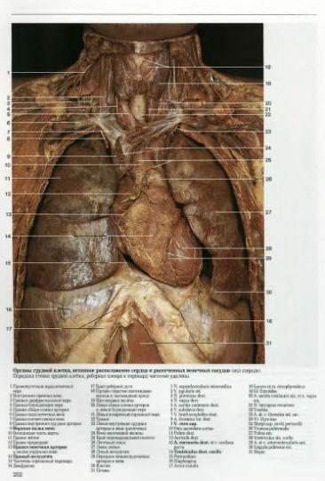 анатомия сердца в схемах и