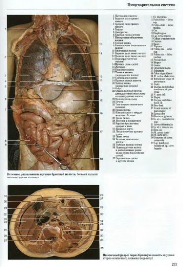 Органы брюшной полости.